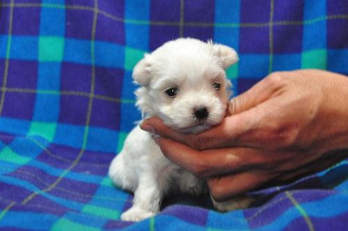 マルチーズ ブリーダー 子犬販売の専門店 AngelWan 横浜市 都筑区 港北区 緑区