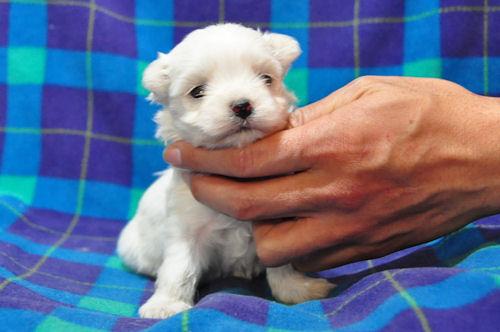 マルチーズ ブリーダー 子犬販売の専門店 AngelWan 横浜市 中区 港南区 青葉区