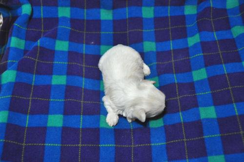 マルチーズ ブリーダー 子犬販売の専門店 AngelWan 画像 ペット通販 保証付き