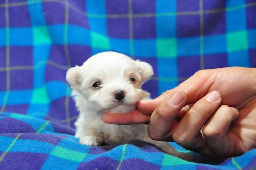 マルチーズ ブリーダー 子犬販売の専門店 AngelWan 大阪 福岡 広島 京都 奈良