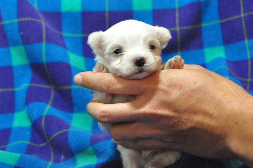 マルチーズ ブリーダー 子犬販売の専門店 AngelWan 愛知 静岡 岐阜 三重 滋賀