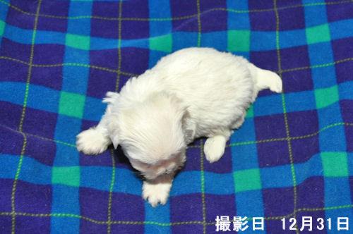マルチーズ ブリーダー 子犬販売の専門店 AngelWan 神奈川 東京 千葉 埼玉