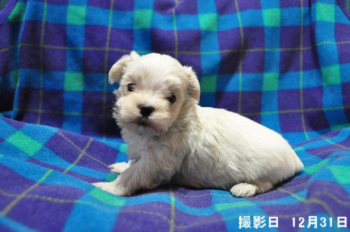 マルチーズ ブリーダー 子犬販売の専門店 AngelWan 川崎 湘南 相模原 町田