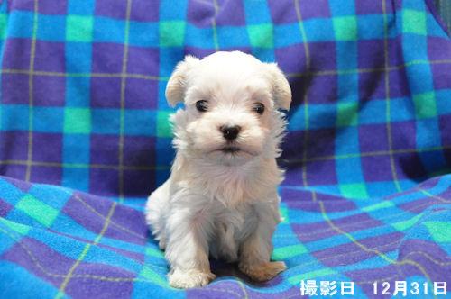 マルチーズ ブリーダー 子犬販売の専門店 AngelWan 東京 大阪 福岡 愛知 兵庫
