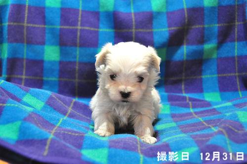 マルチーズ ブリーダー 子犬販売の専門店 AngelWan ANA JAL 空輸 陸送