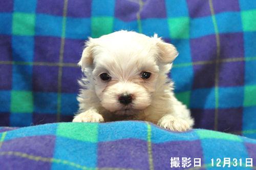 マルチーズ ブリーダー 子犬販売の専門店 AngelWan 青森 秋田 富山 長野 静岡