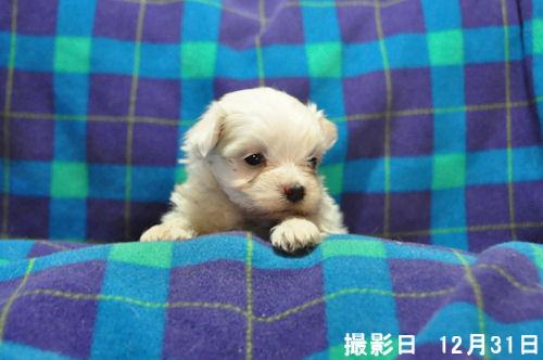 マルチーズ ブリーダー 子犬販売の専門店 AngelWan 三重 滋賀 岐阜 愛媛 広島
