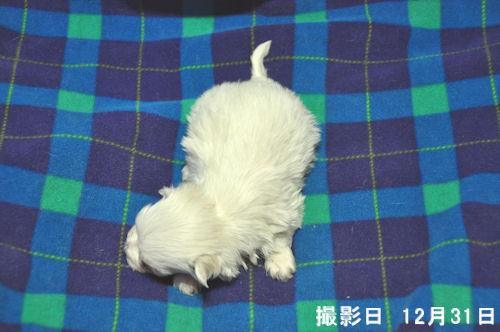マルチーズ ブリーダー 子犬販売の専門店 AngelWan ペットショップ 全国対応