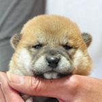 豆柴 ブリーダー 子犬販売の専門店 AneglWan 横浜