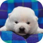 まめ柴 ブリーダー 子犬販売の専門店 AngelWan 横浜
