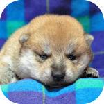 まめ柴犬 ブリーダー 子犬販売の専門店 AngelWan 横浜