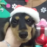 ミニチュアダックスフンド ブリーダー 子犬販売の専門店 AngelWan 横浜