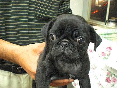 パグ ブリーダー 子犬販売の専門店 AngelWan 愛知 大阪 兵庫 福岡 広島 長野