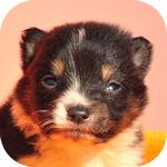 シェットランドシープドッグ ブリーダー 子犬販売の専門店 AngelWan 横浜