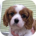 キャバリア ブリーダー 子犬販売の専門店 AngelWan 横浜