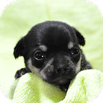 チワワ ブリーダー 子犬販売の専門店 AngelWan 横浜
