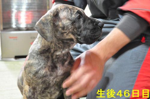 グレートデン ブリーダー 子犬販売の専門店 AngelWan 横浜 横須賀 湘南 ペット