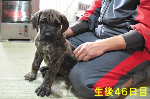 グレートデン ブリーダー 子犬販売の専門店 AngelWan 横浜 ペットショップ 出産情報