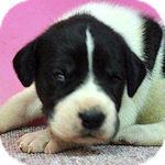 グレートデン ブリーダー 子犬販売の専門店 AngelWan 横浜