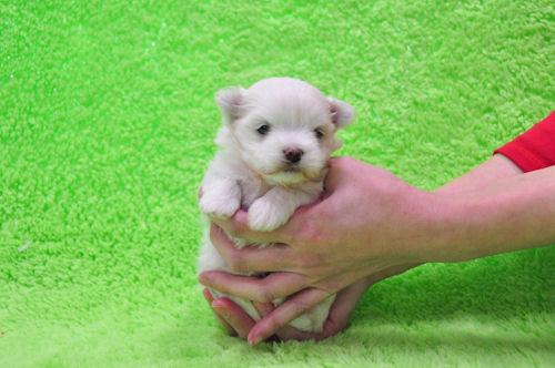 マルチーズ ブリーダー 子犬販売の専門店 AngelWan 横浜市 戸塚区 泉区 瀬谷区