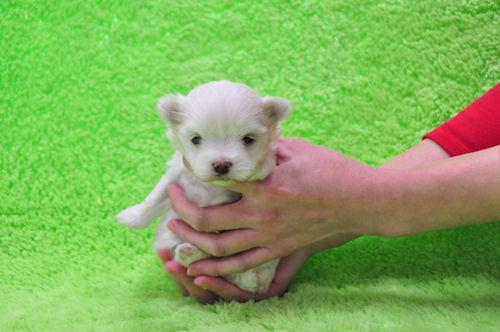 マルチーズ ブリーダー 子犬販売の専門店 AngelWan 横浜市 青葉区 中区 港南区