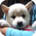 豆柴 ブリーダー 子犬販売の専門店 AngelWan 横浜