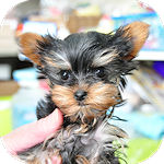 ヨーキー ブリーダー 子犬販売の専門店 AngelWan 横浜