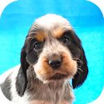 Eコッカースパニエル ブリーダー 子犬販売の専門店 AngelWan 横浜