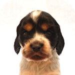 イングリッシュコッカースパニエル ブリーダー 子犬販売の専門店 AngelWan 横浜