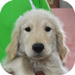 ゴールデンレトリーバー ブリーダー 子犬販売の専門店 AngelWan 横浜