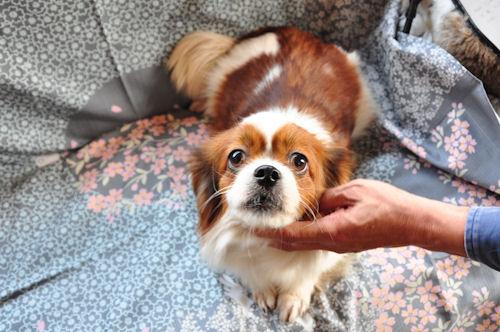 チベタンスパニエル ブリーダー 子犬販売の専門店 AngelWan 日本全国対応可能