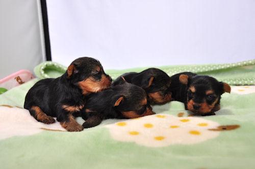 ヨークシャテリアの出産と子犬