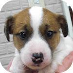 ジャックラッセルテリア ブリーダー 子犬販売の専門店 AngelWan 横浜