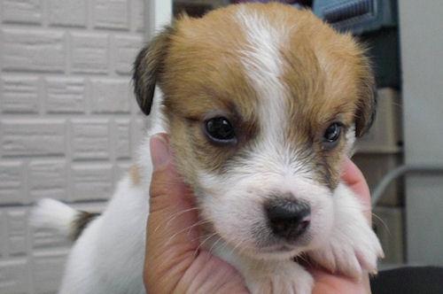 ジャックラッセルテリア ブリーダー 子犬販売の専門店 AngelWan 日本全国対応可能