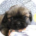 チベタンスパニエル ブリーダー 子犬販売の専門店 AngelWan 横浜