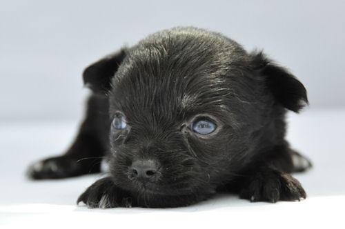 チワワ ロングコート ブリーダー 子犬販売の専門店 AngelWan 福岡 広島 兵庫