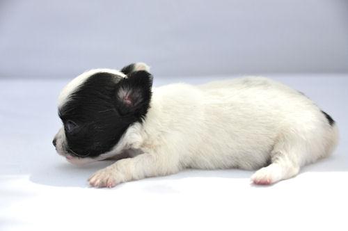 チワワ ロングコート ブリーダー 子犬販売の専門店 AngelWan 人気犬種 小型犬