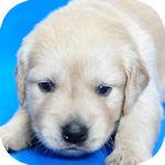 ゴールデンレトリバー ブリーダー 子犬販売の専門店 AngelWan 横浜