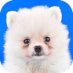 ポメラニアン ブリーダー 子犬販売の専門店 AngelWan 横浜