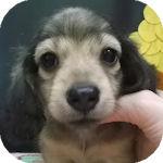Mダックスフンド ロング ブリーダー 子犬販売の専門店 AngelWan 横浜