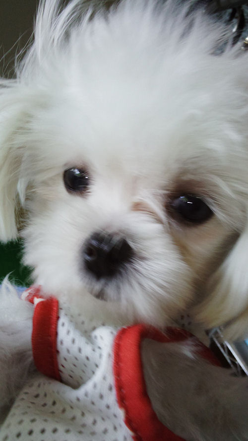マルチーズ ブリーダー 子犬販売の専門店 AngelWan 極小 ペットショップ 全国対応