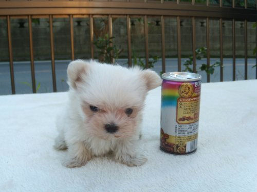 マルチーズ ブリーダー 子犬販売の専門店 AngelWan ミニミニサイズ プチ 小ぶり