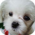 マルチーズ ブリーダー 子犬販売の専門店 AngelWan 横浜