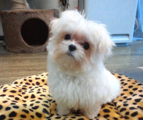 マルチーズの子犬 ブリーダー 子犬販売の専門店 AngelWan 福岡 兵庫 愛知 東京