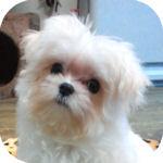 マルチーズの子犬 ブリーダー 子犬販売の専門店 AngelWan 横浜