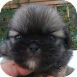 ペキニーズ ブリーダー 子犬販売の専門店 AngelWan 横浜