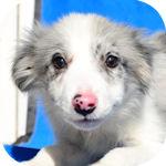 ボーダーコリー ブリーダー 子犬販売の専門店 AngelWan 横浜