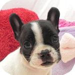 フレンチブルドッグ ブリーダー 子犬販売の専門店 AngelWan 横浜
