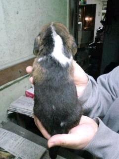 ビーグル ブリーダー 子犬販売の専門店 AngelWan ハウンド 青森 長野 秋田
