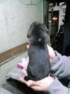 ビーグル ブリーダー 子犬販売の専門店 AngelWan 岩手 福島 宮城 茨城